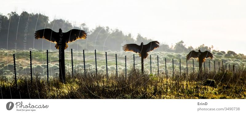 Three Turkey Vultures or Buzzards Spread Wings on Fence buzzard vulture turkey turkey buzzard California morning wings fence light sunrise silhouette spread