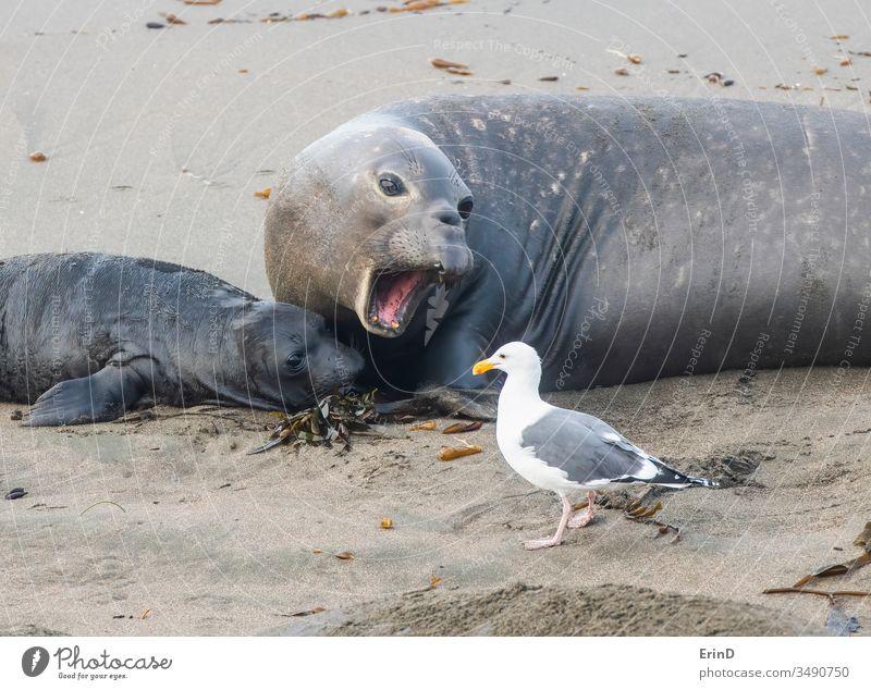 Mother Northern Elephant Seal with Newborn and Sea Gull northern elephant seal sea gull bird mother newborn birth wildlife beach coast animals pinniped mammal