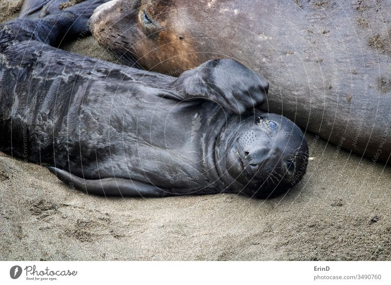 Newborn Northern Elephant Seal Pup Looks Into Camera Northern elephant seal pinniped newborn proboscis birth resting beach mother California central rookery