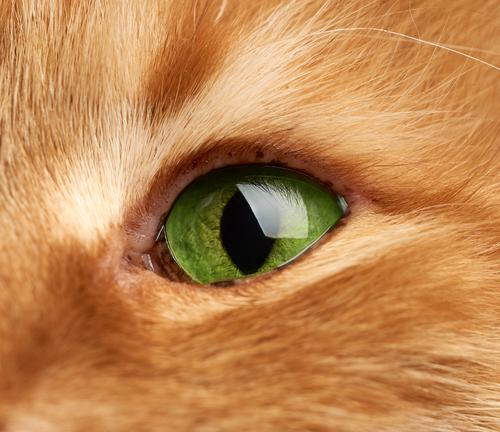 open green eye of a red cat, macro adorable adult animal background brown closeup cute detail domestic eyes face feline fluffy fur ginger hair head kitty male