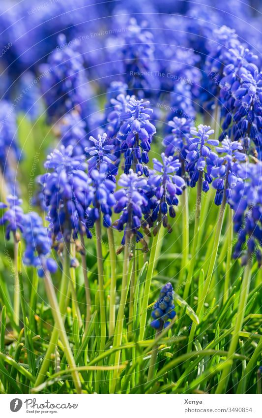 grape hyacinths Muscari Blue Green Grass Close-up Shallow depth of field Sunlight Deserted Spring Nature Day Flower Plant Colour photo Spring fever