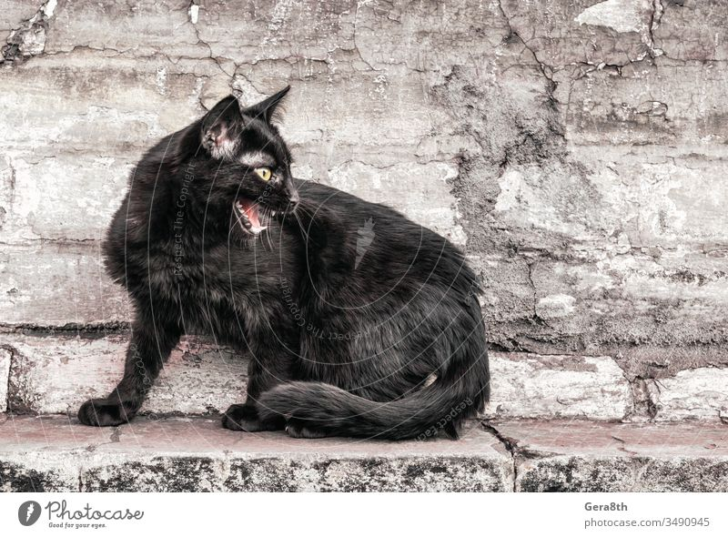 aggressive angry black cat sits near an old house and watches adult aggression anger animal animal theme brick brown building bystander city close close up day