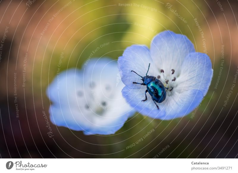 A sky blue leaf beetle crawls around in the blue poppy blossom Sky blue leaf beetle Garden Insect Plant spring Blossom leave Nature Macro (Extreme close-up)