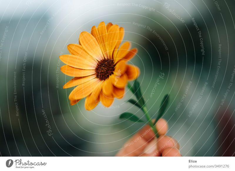A person holding an orange flower capitula Cape daisy in his hand flowers Cape basket marguerite Orange by hand stop bokeh Nature Copy Space copyspace spring
