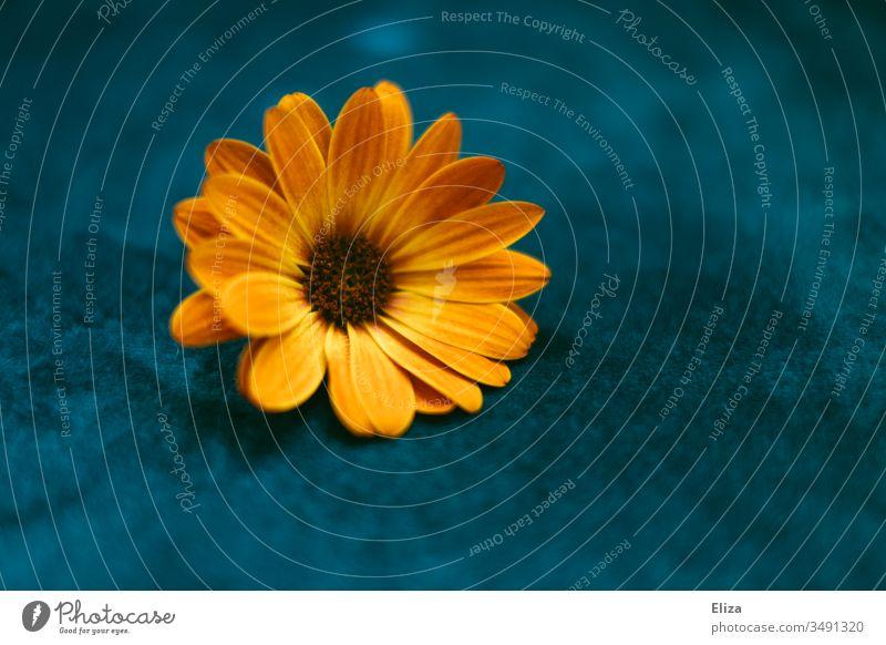 An orange flower on a blue background; osteospermum, cape daisy, capitulum Cape basket marguerite Orange Blossom Blue Flower Nature Plant Spring Colour photo