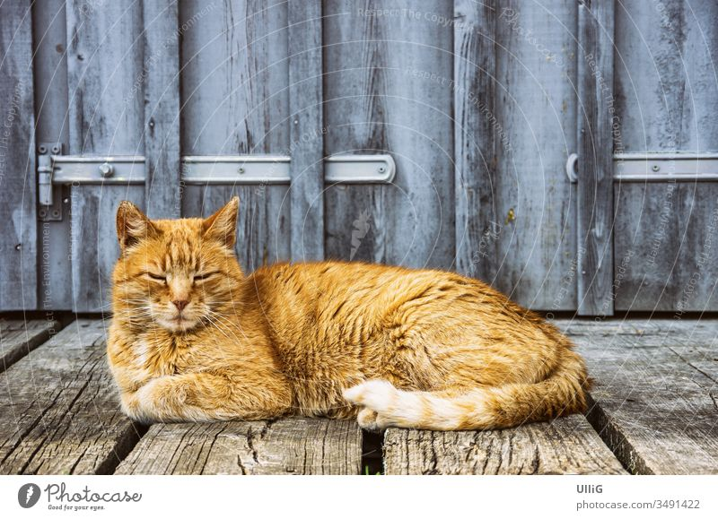 Dozing house cat - Red-haired house cat dozing in front of the gate of a rural building. Cat Domestic cat roomier Pet rest Lie Animal board wall Country life