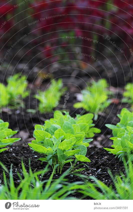 Young, fresh, green seedlings of a plant grow out of the brown earth after sowing, in a vegetable patch at home in the garden. Sowing Field Agriculture Green