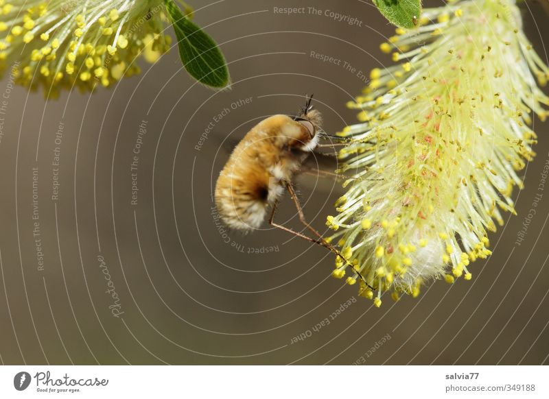 woolen hover meal Nature Animal Spring Beautiful weather Blossom Wild animal Fly Wing 1 Blossoming Flying To feed Delicious Brown Yellow Insect Woolly Weaver