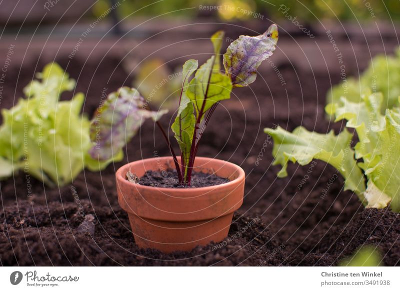 Beetroot plant in an earthen pot in a raised bed between small salad plants beetroot little plant young vegetables Vegetable Garden Bed (Horticulture) plant pot