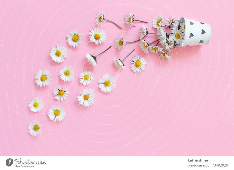 Spring composition with white daisies falling from a bucket flower romantic love daisy light pink top view above concept creative day decor decoration design