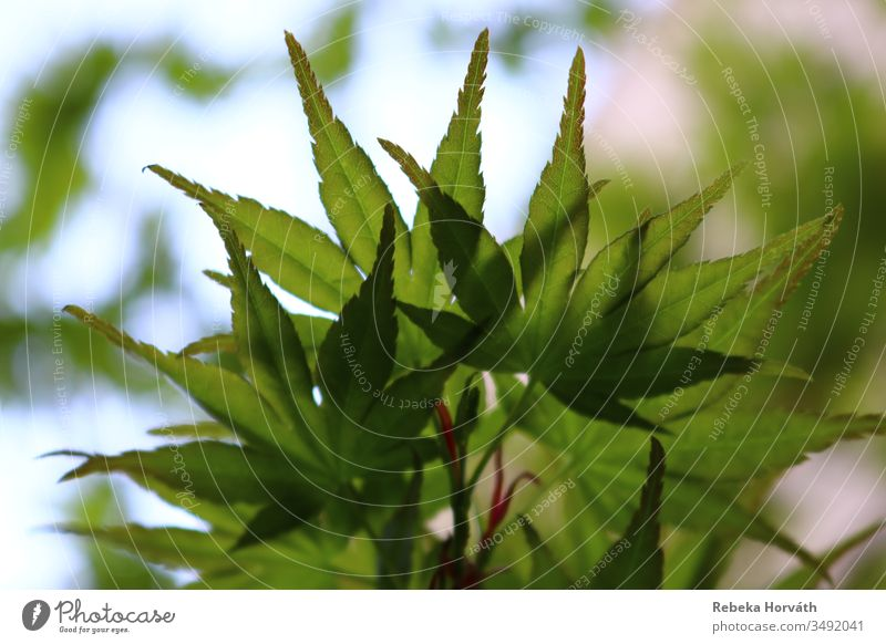 Green leaves of the Japanese maple tree with sky background. Tree Calm Spring Maple tree Nature Leaf Sky Forestry Garden Park Plant Exterior shot Colour photo
