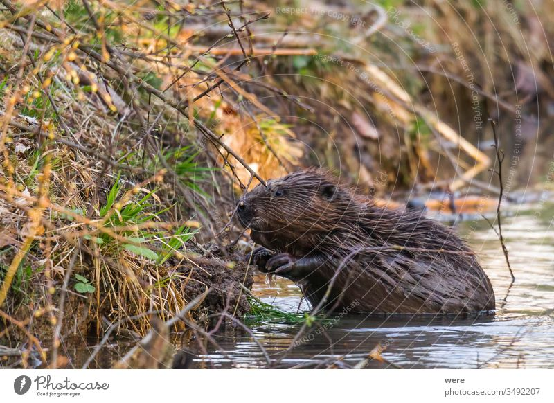 A wet beaver sits in the water on the bank of a stream animal beaver castle branch copy space creek cuddly cuddly soft cute forest fur gnaw mammal nature nobody