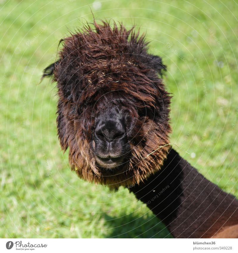 weird hairdo... Animal Farm animal Animal face Pelt Alpaca Camel Llama 1 Observe To feed Listening Looking Exceptional Friendliness Uniqueness Cuddly Natural