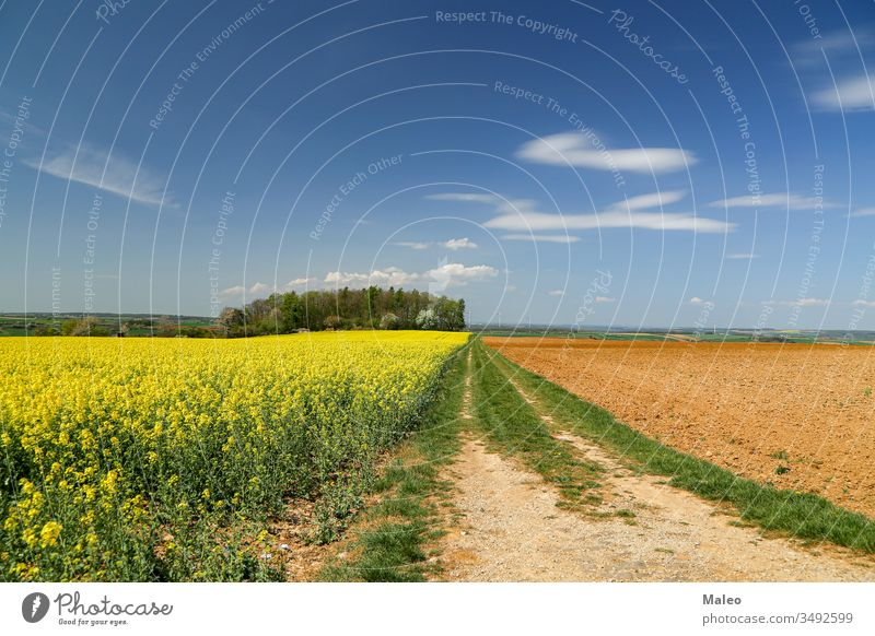 Spring landscape with bright yellow rapeseed fields nature spring sky rural summer flower green meadow blue season agriculture plant environment clouds colorful