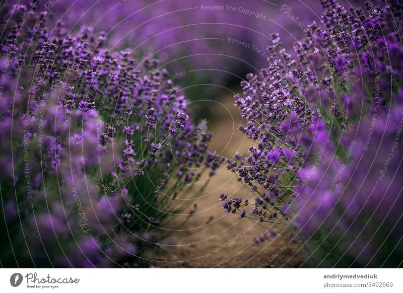 sea of lavender flowers focused on one in the foreground. lavender field bloom france violet landscape nature summer spring aromatherapy background beautiful