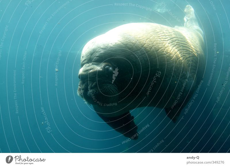 the walrus Water Wild animal Walrus 1 Animal Swimming & Bathing Dive Fat Muscular Wet Blue Turquoise Cool (slang) Power Peaceful Caution Serene Calm