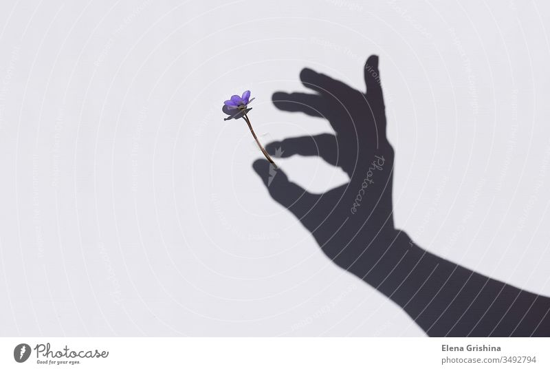 Spring blossom in the hand of a woman. Shadows on the wall. Flower Hand Light background Wall (building) Floral concept Beauty & Beauty Sunlight Silhouette