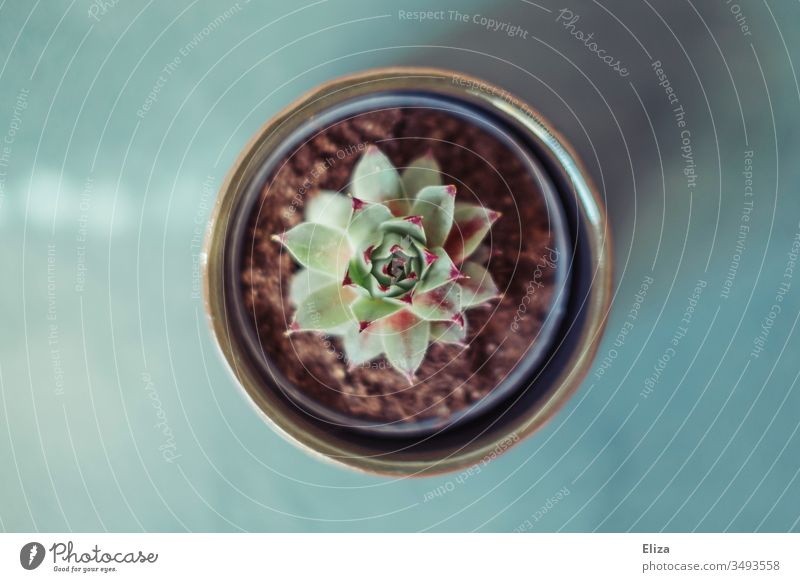 Small houseleek Succulent in a flower pot from above in bird's eye view on a blue background succulent Plant Pot plant pretty Flowerpot Colour photo Deserted