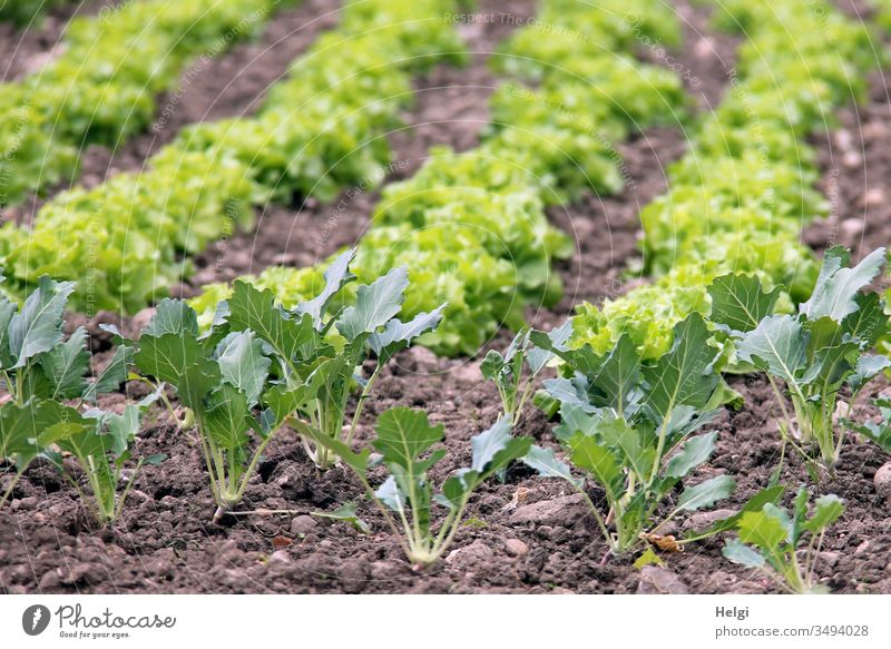 Kohlrabi and lettuce plants growing in a field Plant Kohlrabi plant Lettuce salad plant Field wax Spring Garden food products Food Vegetable Nature