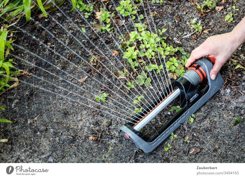 Sprinkler sprays water on green plants in the earth by hand rainer Sprinklers Square sprinkler Irrigation Water Cast Jet of water Plant Green Earth Garden