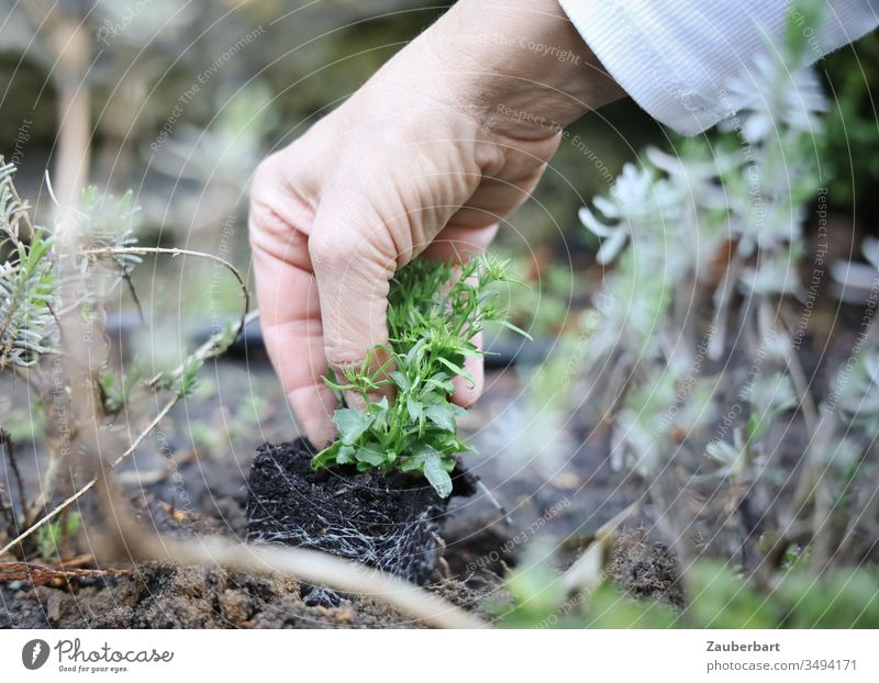 Small plant Männertreu is carefully planted by hand by a gardener Plant Men's Loyalty Lobelia Blue implant Hand Garden Gardening Gardener Earth Green Nature