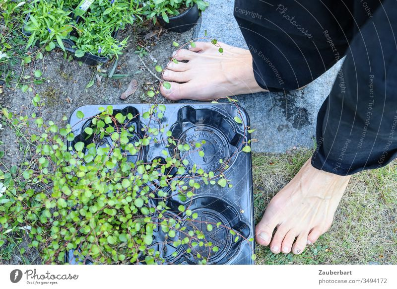 Ground cover plant Mühlenbeckia in plastic bowl next to two feet barefoot in the garden Plant Foliage plant shell Feet Naked Barefoot Toes implant Gardening