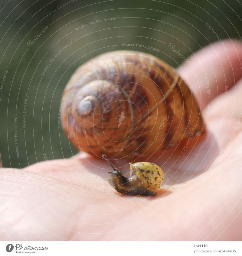 Mom? Snail shell snails helix pomatia escargot Housing two snails Mini snail huge Hand Feeler creep Creepers Size comparison Brown Yellow Dab Rings