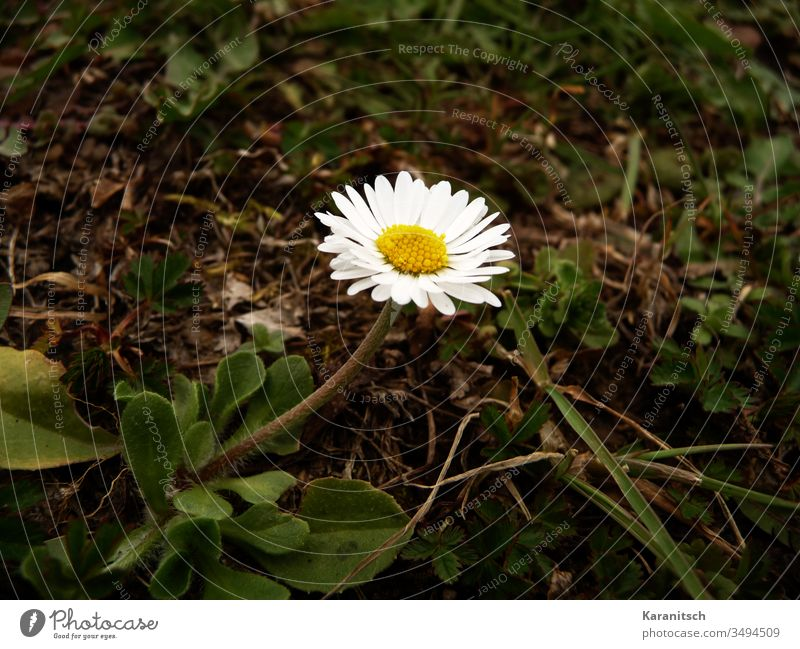 A lonely daisy in spring Flower flower Daisy Meadow flower Small Delicate Beautiful Spring Summer leaves Green stalk petals White stamens Yellow