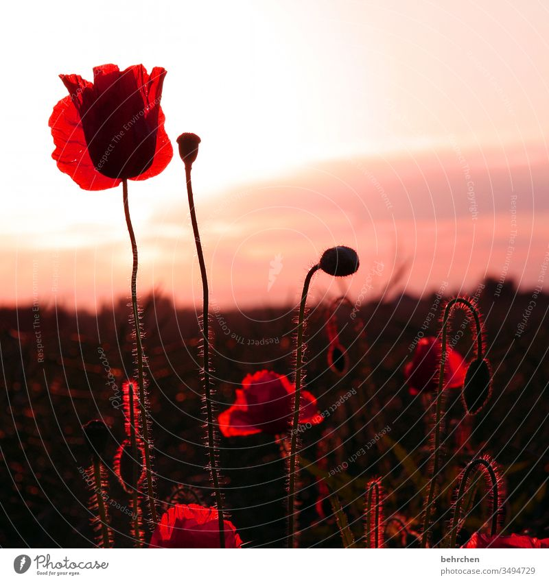 because yesterday was monday Blossom leave Dusk Twilight Sky Deserted Environment Warmth Wild plant Colour photo Exterior shot Poppy field Red Plant Nature