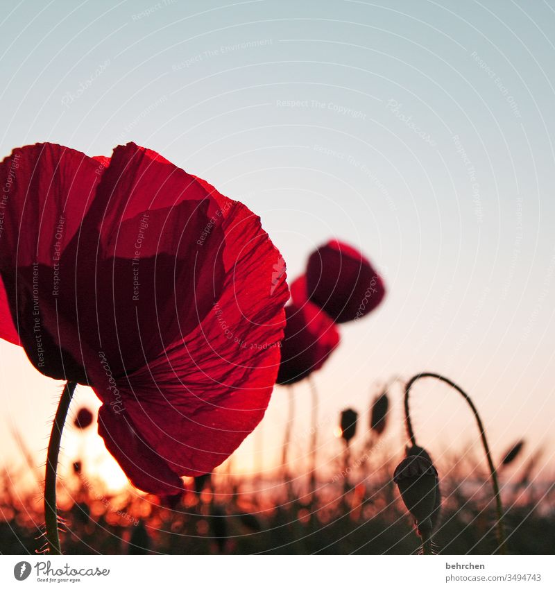 poppy love poppy flower Evening Landscape Poppy Poppy blossom poppies flowers bleed fragrant Fragrance Summer spring Back-light Sunset Sunlight Field Meadow
