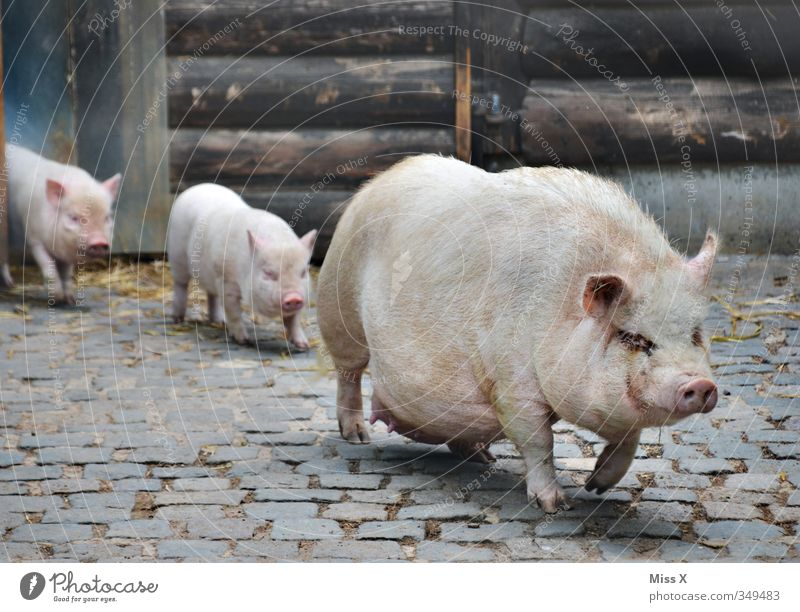 pig march Farm animal 3 Animal Group of animals Herd Baby animal Animal family Dirty Emotions Moody Protection Safety (feeling of) Agreed Together Family outing