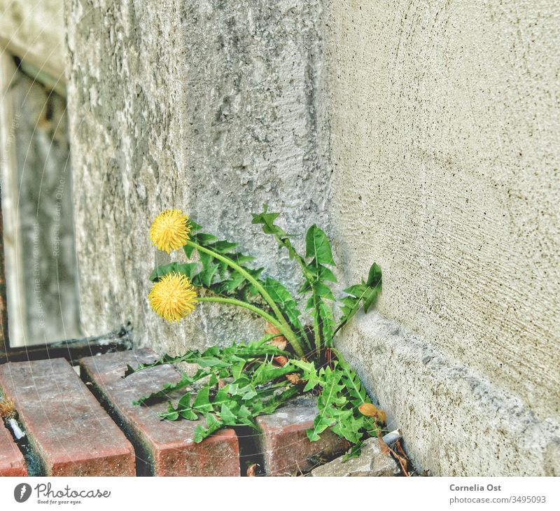 Wallflowers in the urban jungle. Dandelions find a way to grow. Flower Nature Plant Seed Spring Exterior shot Floral Yellow Garden background wallflower Stony