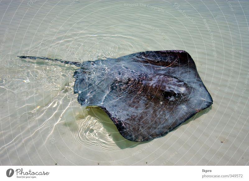 a manta in a mexican lagoon Beach Animal Gray Colour lkpro water acqua messico Mexico Lagoon laguna Devils ray razza spiaggia colori grigio animale pesce fish