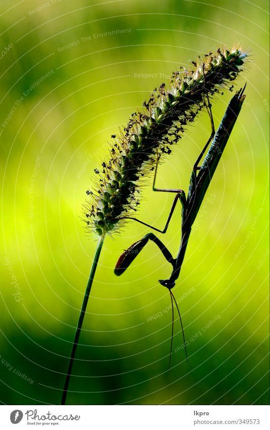 mantis religiosa in shilouette and shadow ,black e Paw Brown Green Colour lkpro Mantis Religiosa natura colori verde marrone insetto Insect zampe mantide