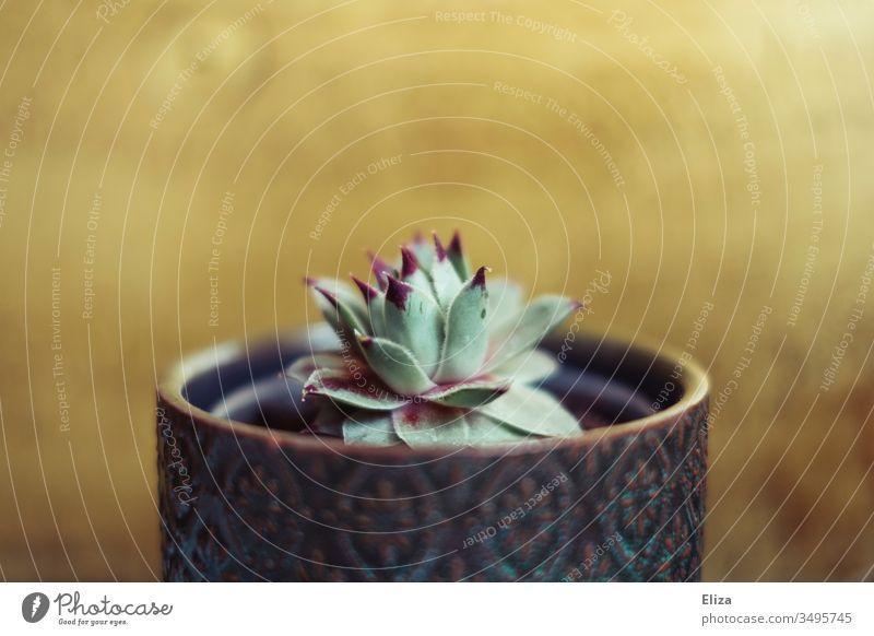 A small houseleek succulent in a flower pot against a golden background genus sempervivum Small Gold Flowerpot succulent plant purple Foliage plant Decoration