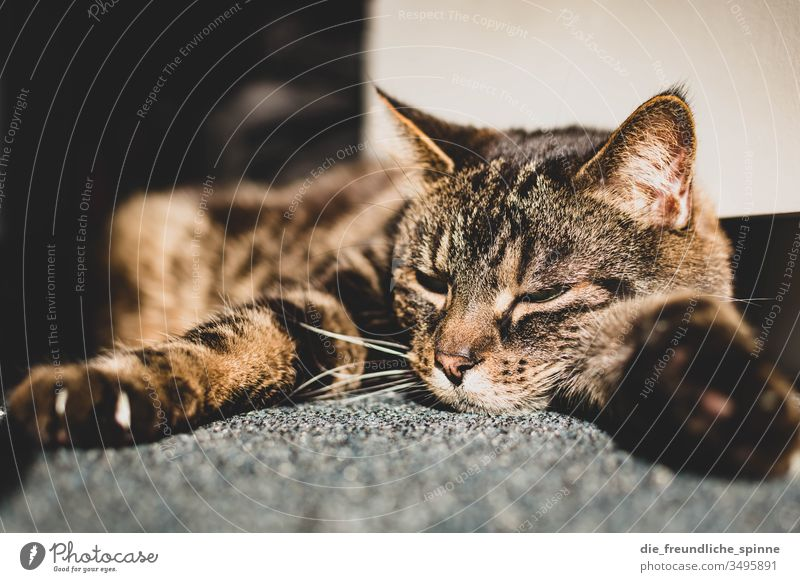 Cat enjoys the sun hangover Lie Sun Carpet Sleep Cute Pelt paw Claw tired bokeh Light Sunbeam Speckled mackerelled eyes eyes closed Pet Animal Interior shot