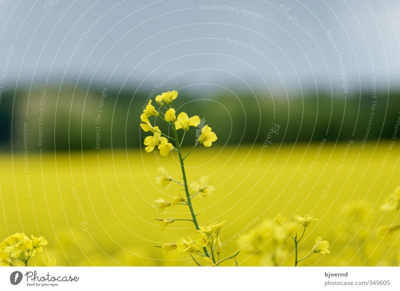 Rapeseed (Brassica napus) Nature Plant Spring Canola field Oilseed rape flower Yellow Green Schleswig-Holstein Agriculture Exterior shot Blossom Field