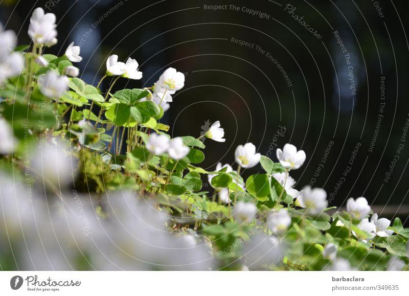 wood clover flower chain Summer Clover Cloverleaf Clover blossom Forest Blossoming Illuminate Growth Esthetic Dark Fresh Bright Green Black White Fragrance