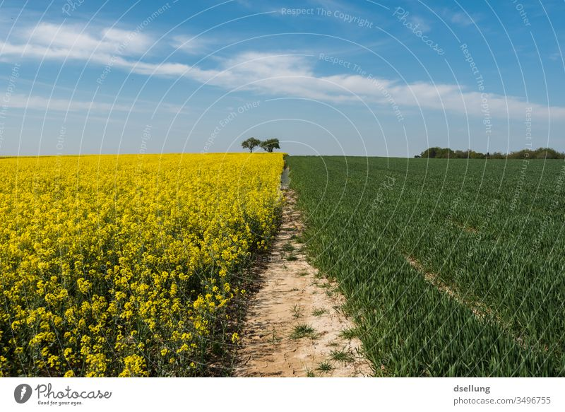 A rape field and a green field, where also sometime grows, under a blue sky with light clouds Canola Canola field Yellow Field fields Blue sky Clouds spring Sky