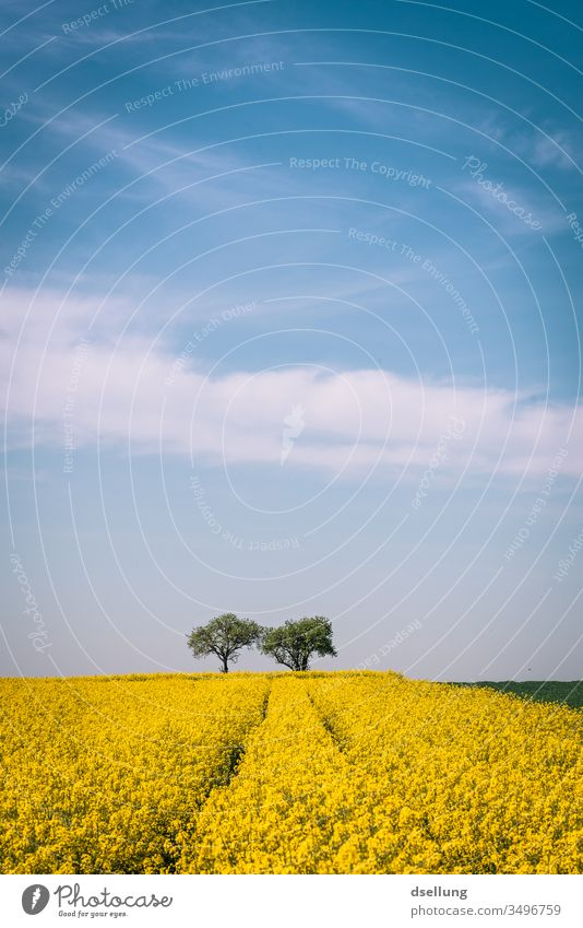 A rape field and two trees under a blue sky with light clouds Canola Canola field Yellow Field fields Blue sky Clouds spring Sky Nature Landscape Agriculture