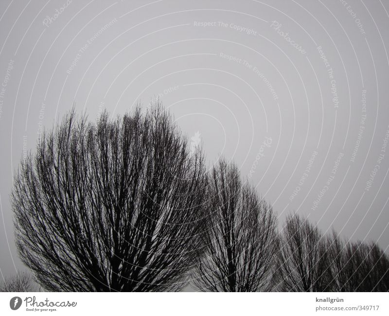 Of course. Nature Plant Sky Tree Poplar Natural Gray Black Silhouette Winter Treetop Colour photo Subdued colour Exterior shot Deserted Copy Space right