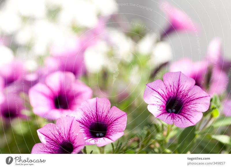 florid Flower Pink Plant Depth of field Horticulture landscaping Gardening and landscaping Gardener Sunlight Sunbeam Warmth Soft Colour photo Card Nature