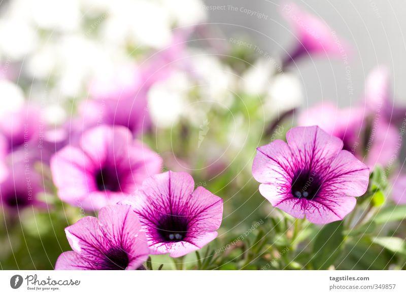 Nature Plant Sun Flower Warmth Blossom Garden Pink Illuminate Soft Blossoming Card Depth of field Gardening Horticulture Gardener