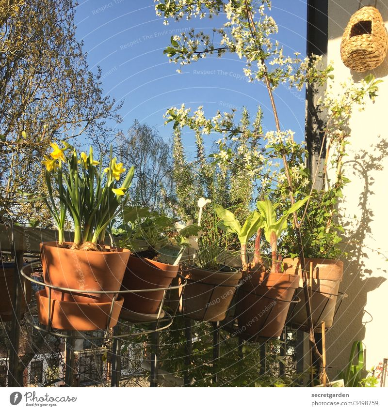 Memory of a Carefree Time (2019) Worm's-eye view aviary at home relax Cherry tree Cherry blossom Environment balcony rail Growth balustrade Narcissus Pot plant