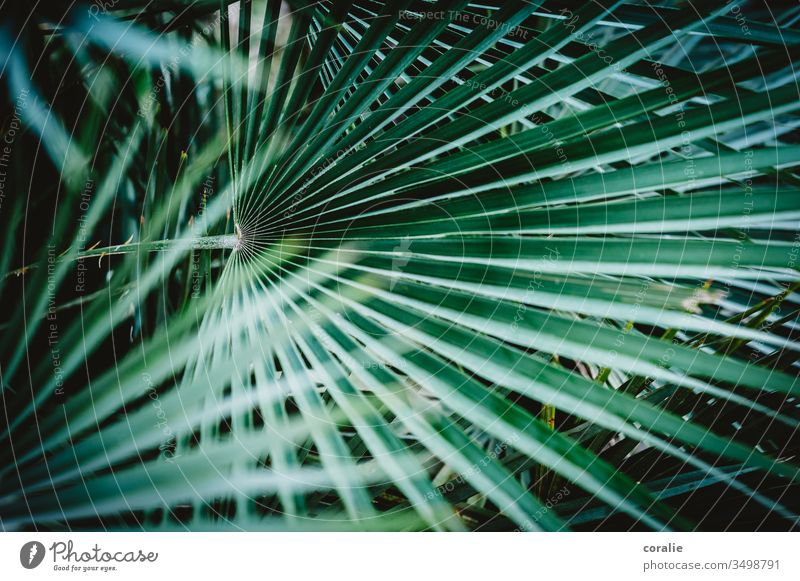 palm fronds Palm frond Palm roof Concealed Exotic Tropical Tropical garden Plant Nature Leaf Palm tree Green Virgin forest Colour photo Garden Tree Summer