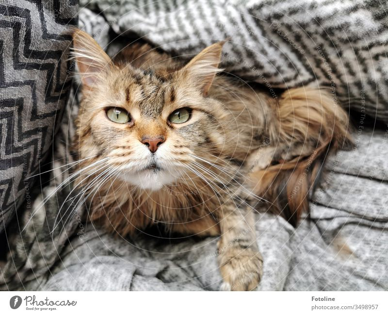 Purrrrrr! - or my cat, who once again made himself comfortable under my blanket. Cat Maine Coon Pelt Fluffy Longhaired cat purebred cat feline pets White