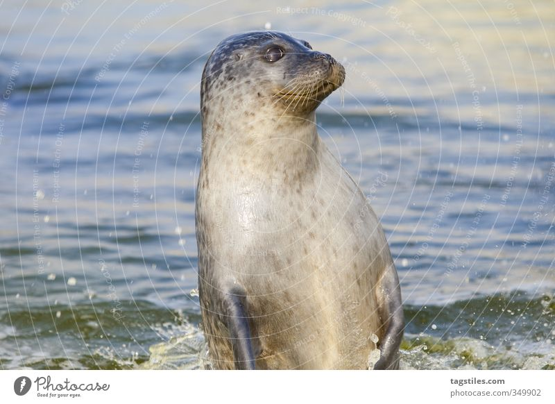 Nature Vacation & Travel Water Ocean Animal Travel photography Jump Idyll Curiosity Card North Sea Watchfulness Mammal Seals Gray seal Sea lion