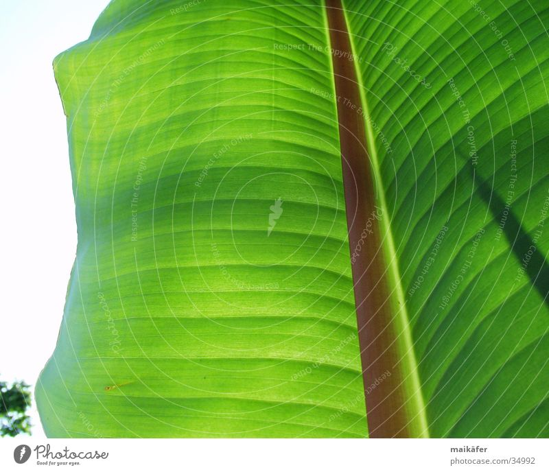 banana leaf Banana leaves Leaf Light Transparent Green Brown Visual spectacle Summer Vacation & Travel Palm tree banana plant Sun Shadow