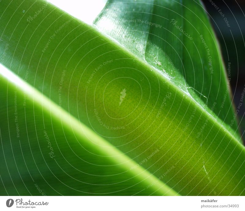 beetle slide Banana Stalk Leaf Green Juicy Light Visual spectacle Glittering banana plant Power Sun