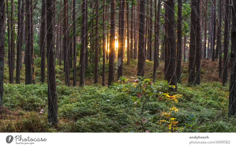 Stems of a coniferous forest on a sunny morning Background backgrounds backlight backlit beautiful beauty in nature bright coniferous trees day ecosystem